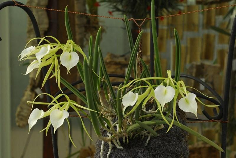 Орхидея брассавола, описание выращивания дома