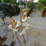 Орхидея Лудизия Дисколор (Гемария)