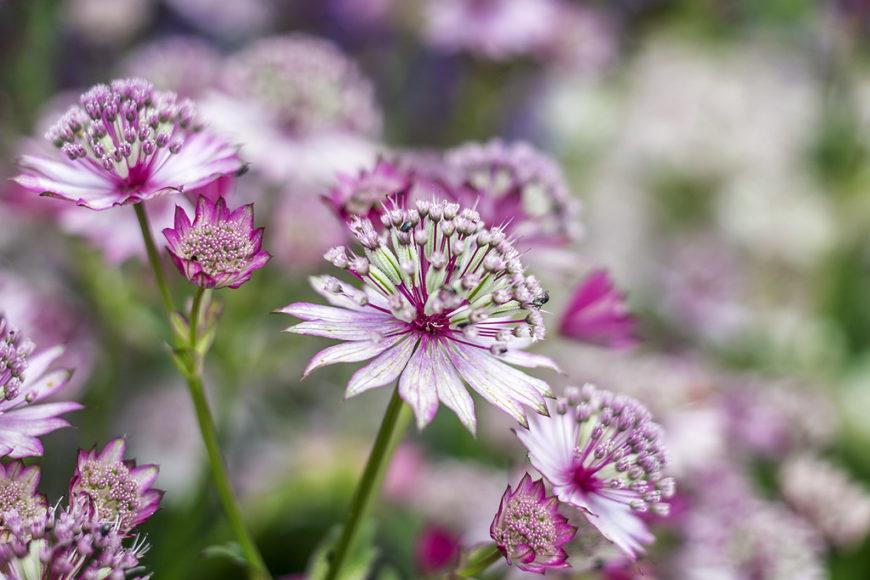 Как ухаживать и выращивать астильбу