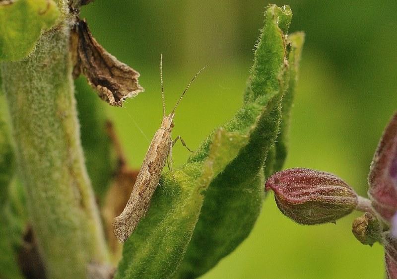 капустная моль