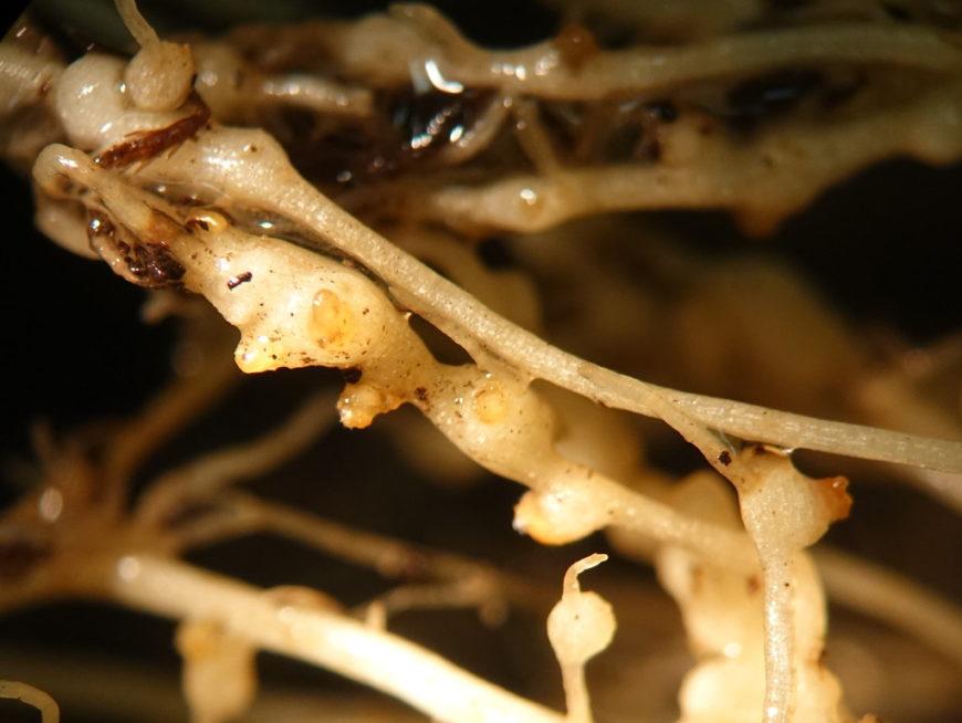 корневая галловая нематода