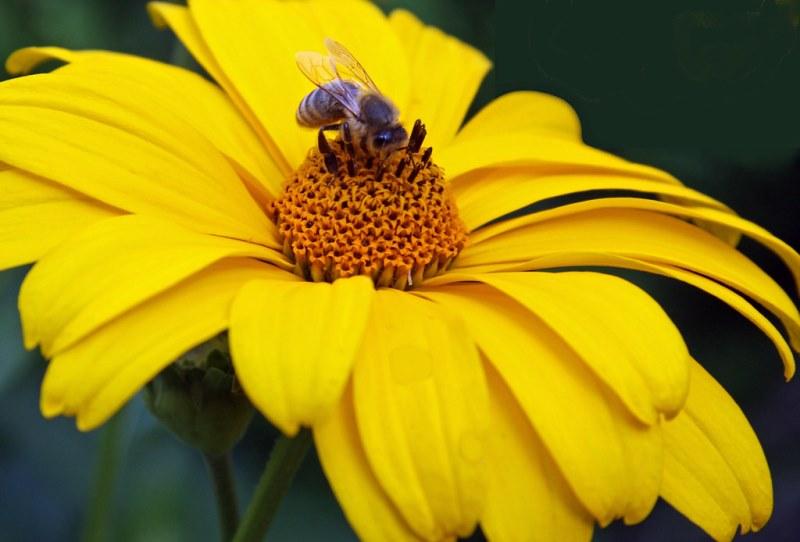 цветущее растение гелиопсис