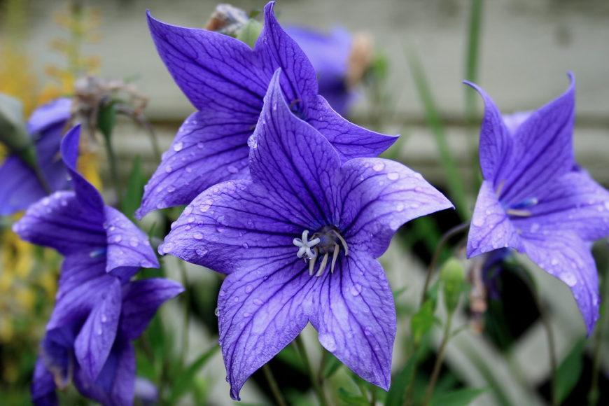 Платикодон для выращивания в саду