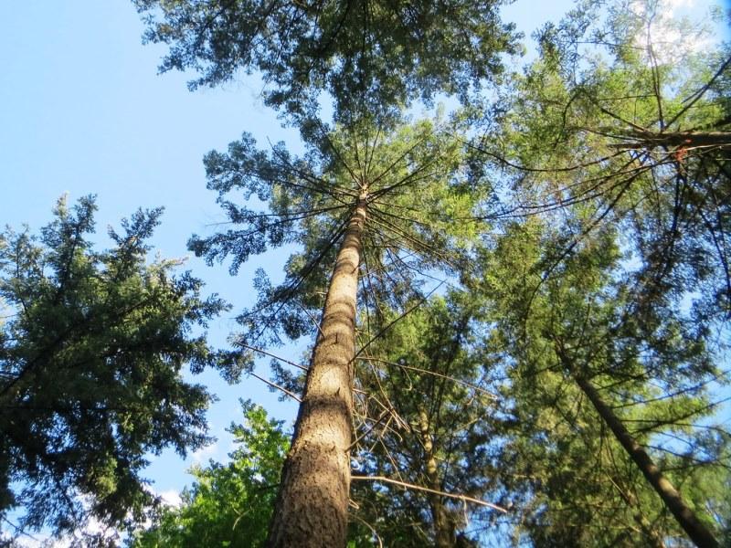 фото хвойного дерева псевдотсуга