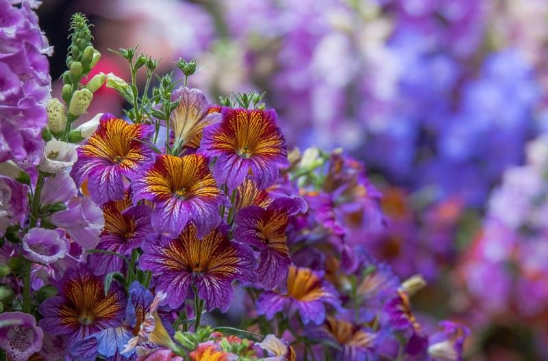 цветущее растение Сальпиглоссис
