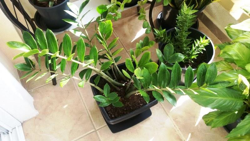 домашнее растение замиокулькас