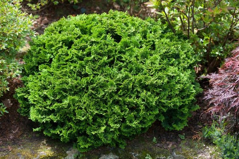 растение кипарисовик