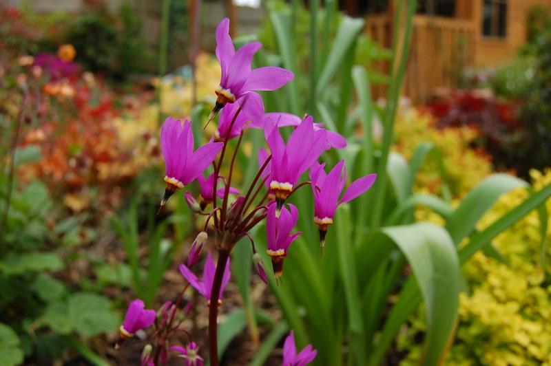 Додекатеон цветущее растение