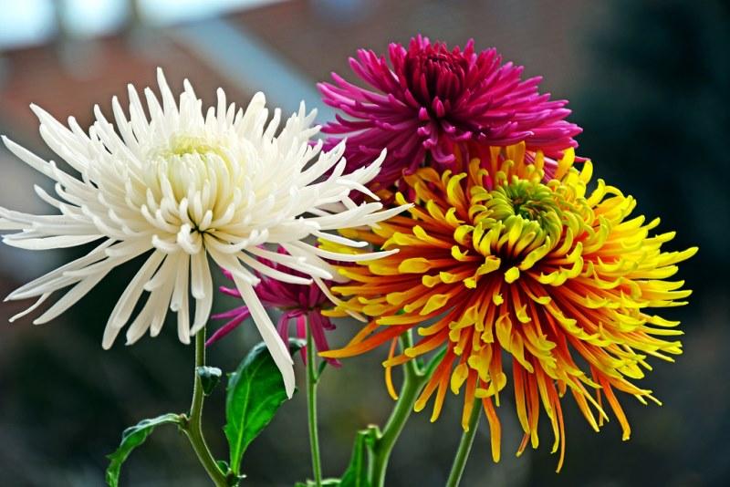 фото трех хризантем