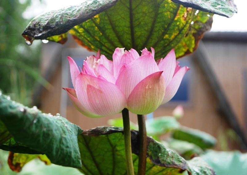 водное растение лотос