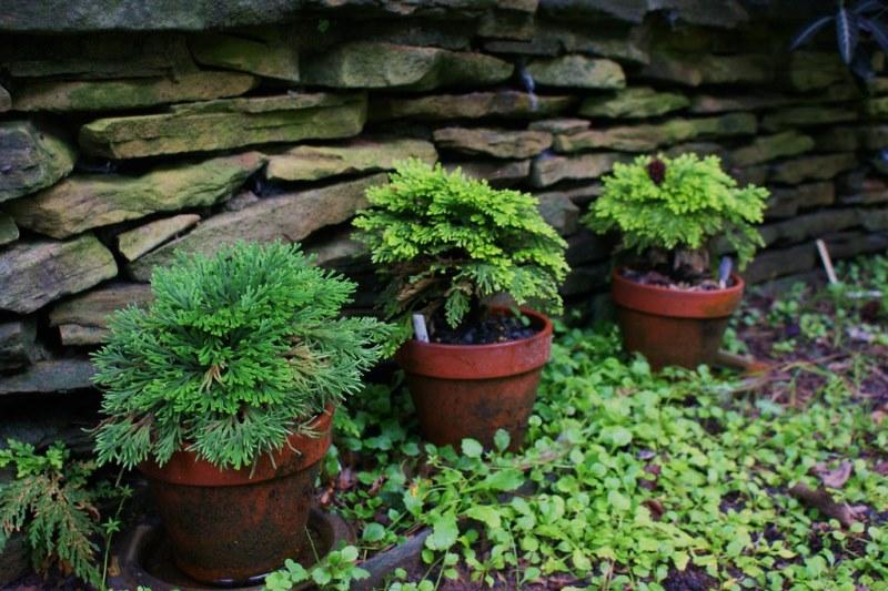 растение селагинелла для выращивания в комнатных условиях