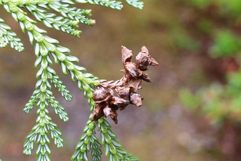 хвойное растение Туевик