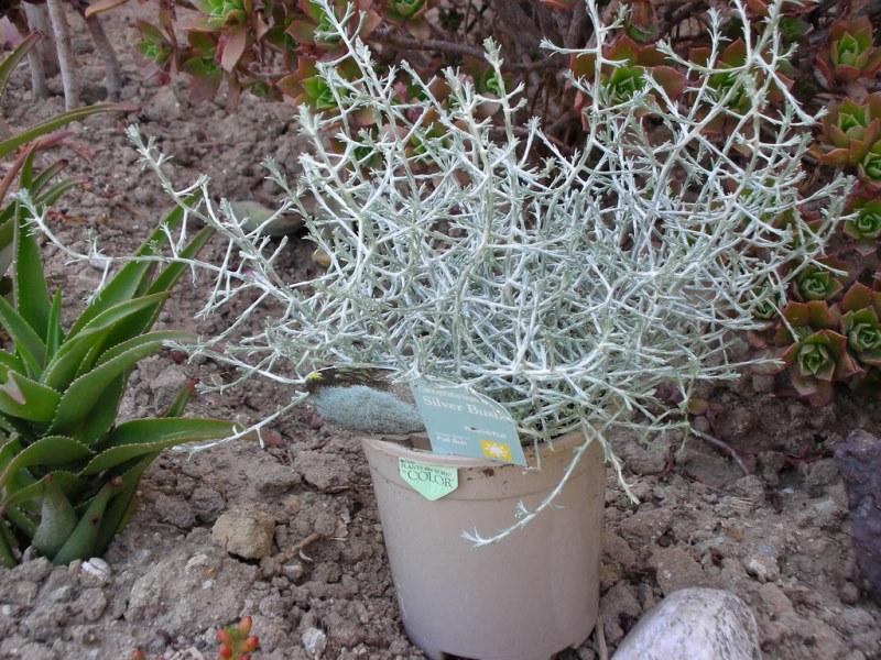 растение Калоцефалус