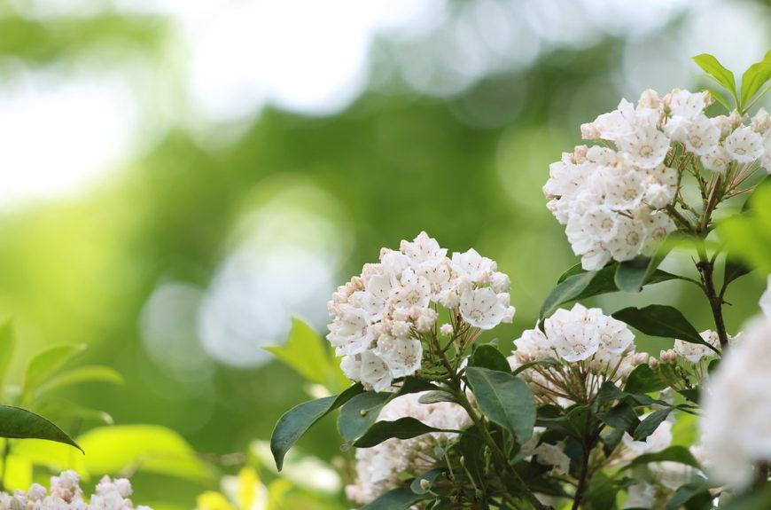 цветущий кустарник кальмия