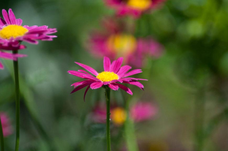 цветущее растение пиретрум