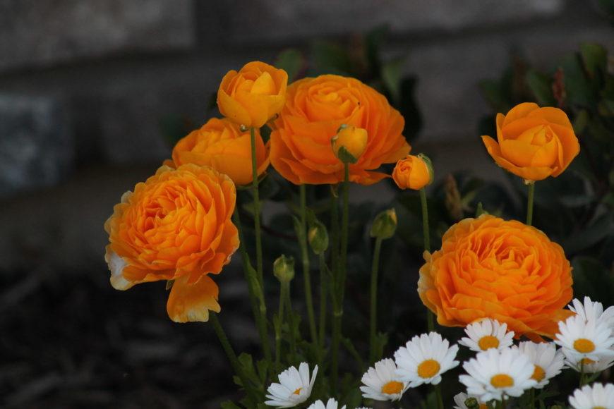 цветущее растение ранункулюс