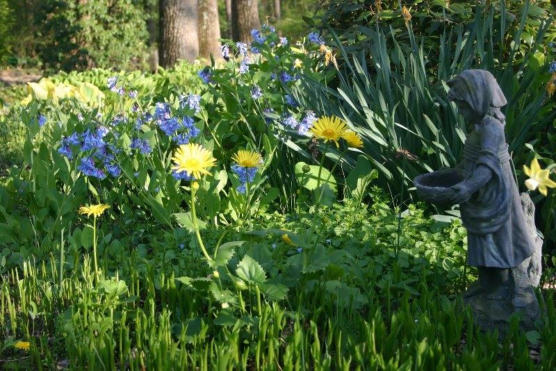 как используется растения дороникум в ландшафте