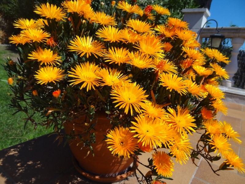 комнатное растение лампарантус