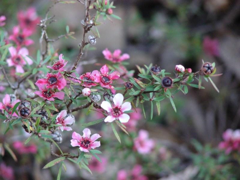 цветущий кустарник Лептоспермум