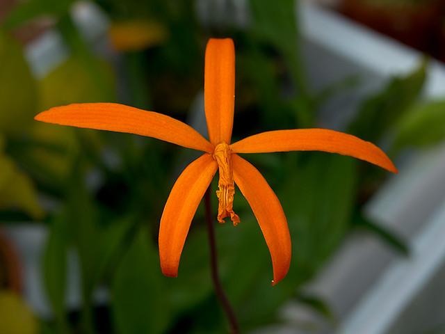 цветущее орхидное растения лелия