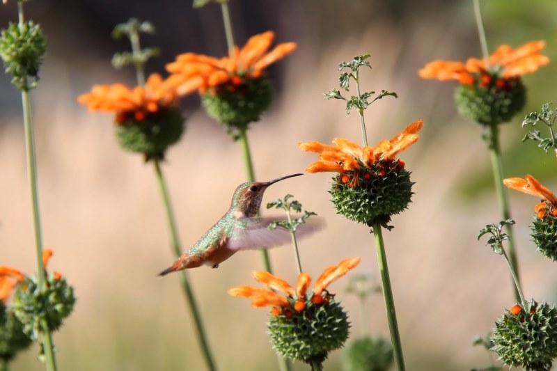 леонотис красивое цветущее растение