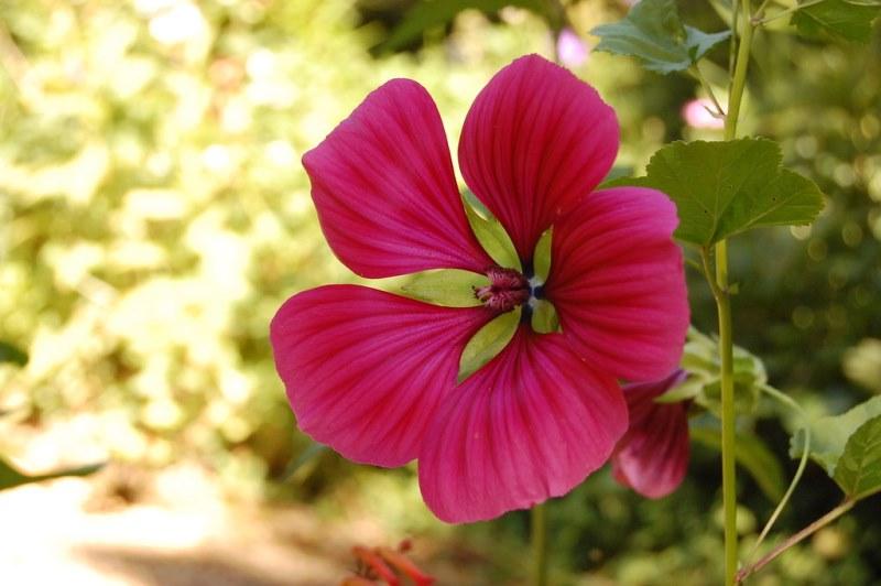 декоративное садовое растение малопе