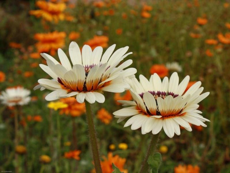растение венидиум цветущее в саду