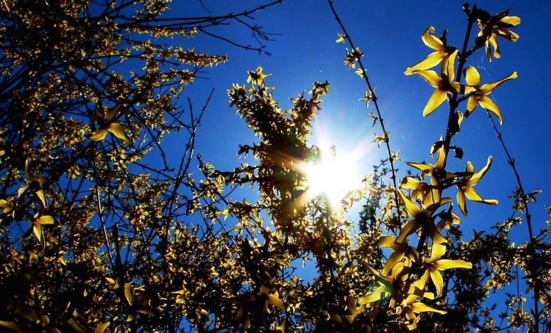 цветущий кустарник форзиция